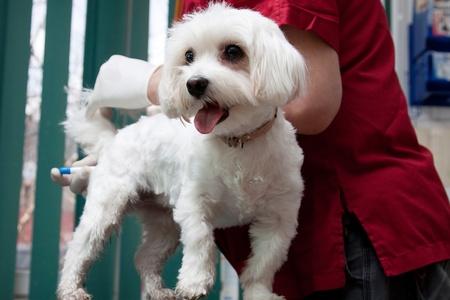 Vet examining a  cute bichon maltese dog photo