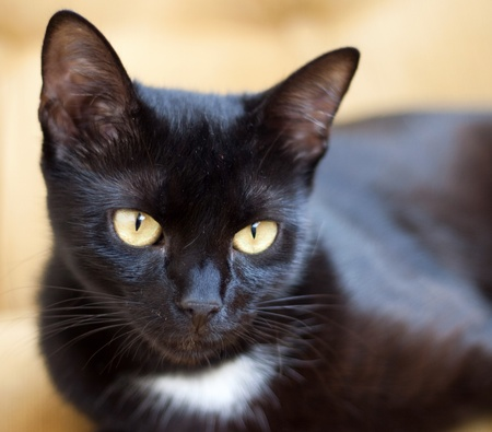 Cute black cat with yellow eyes - focus on eye  photo