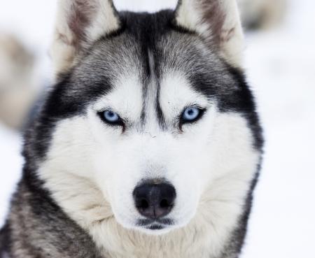 lobo feroz: Husky retrato