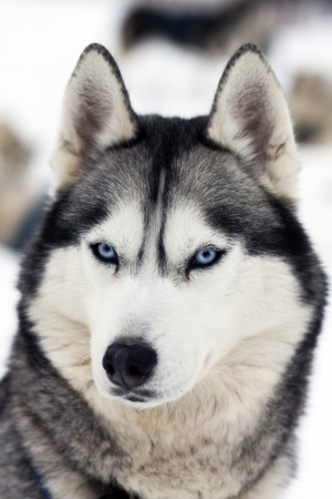 siberian: Husky portrait  Stock Photo