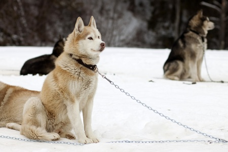 huskys: Sledge dogs before contest  Stock Photo