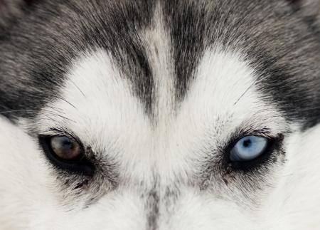 lobo: Close up en los ojos azules del ronco