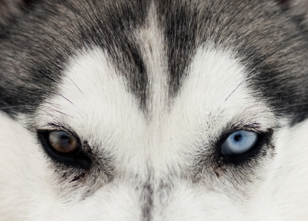 Close up on blue eyes of husky  photo