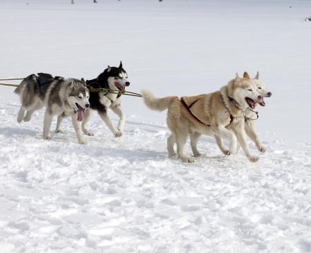 huskys: sled dog race siberian huskies