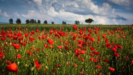 poppy field: Vivid papaver