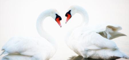 Swans heart Stock Photo - 22237344
