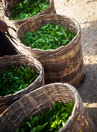 agriculture sri lanka: Fresh tea leaves are collected in baskets for further processing