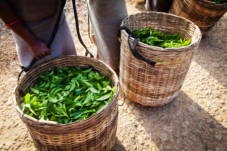 for tea: Fresh tea leaves are collected in baskets for further processing