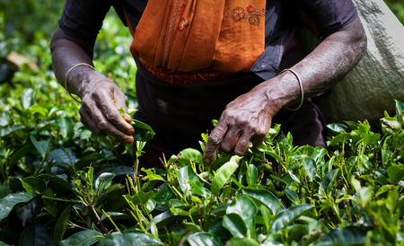 Tea picker woman photo