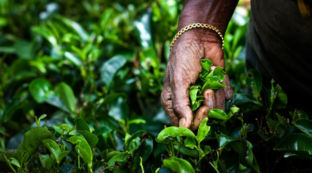 Tea picker woman's hands - close up Banque d'images