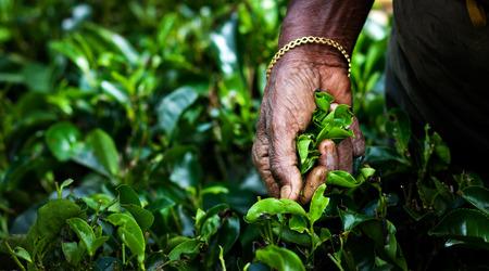 Tea picker woman's hands - close up Foto de archivo