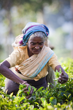 indirectly: MASKELIYA, SRI LANKA - JANUARY 4 : Female tea picker in tea plantation in Maskeliya, January 4, 2015. Directly and indirectly, over one million Sri Lankans are employed in the tea industry. Editorial
