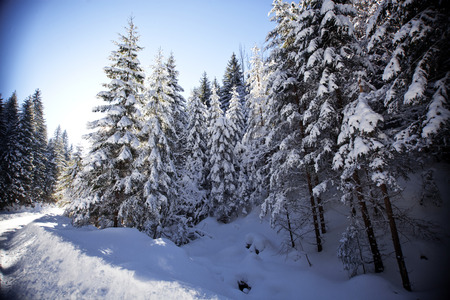 winter trees: Winter landscape with snowy fir trees Stock Photo