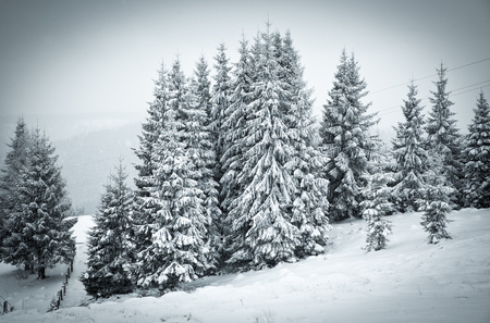 snow  snowy: christmas background of snowy winter landscape with snow or hoarfrost covered fir trees - winter magic holiday