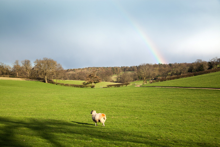 sheep grazing on green meadw with rainbow on sky after spring rain