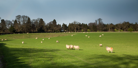 sheep grazing on the beautiful green spring meadow