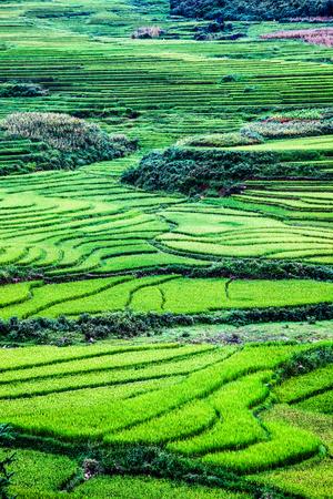 Sluit omhoog op heldergroen padieveld, Sa Pa, Vietnam