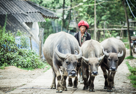 SA PA, VIETNAM - AUGUST 2017: Red dzao ethnic minority woman with buffaloes in Ta Phin village, Sa Pa, Lao Cai province, Vietnam Editorial