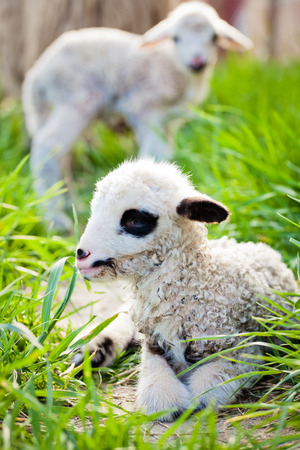 newborn lamb in green grass