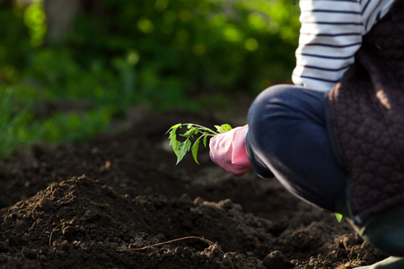woman planting seedlings in spring - organic healthy food