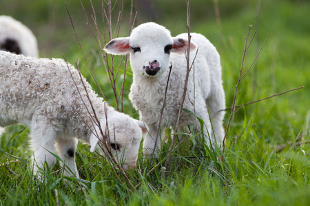 cute little lambs playing in green spring meadow