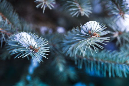 snowy fir tree branches Stock Photo