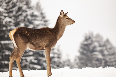 roe deer in winter snow