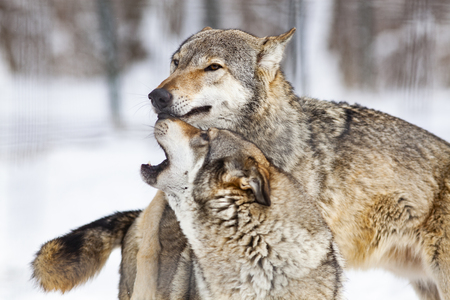wolves playing in snow Banco de Imagens
