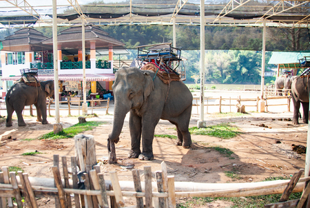 elephants being held captive in an elephant camp  Chiang Mai