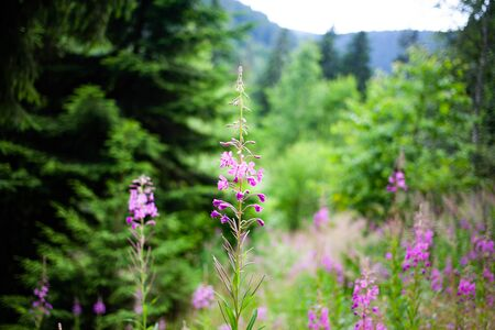 summer forest scene with purple flowers and green firs Фото со стока