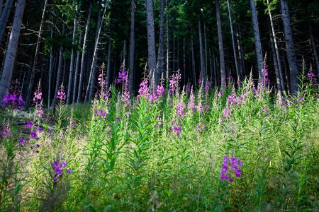 summer forest scene with purple flowers and green firs