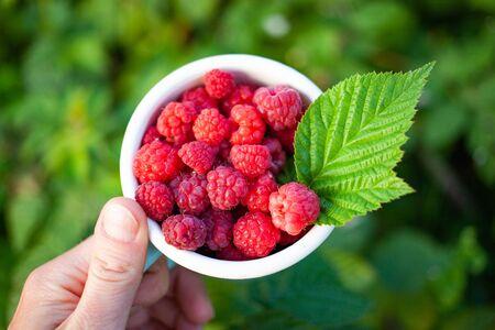 top view of freshly collected raspberries