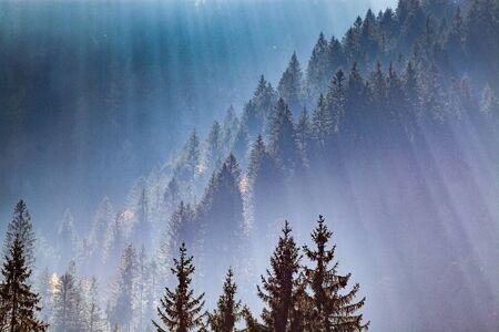sun-rays through misty pine forest