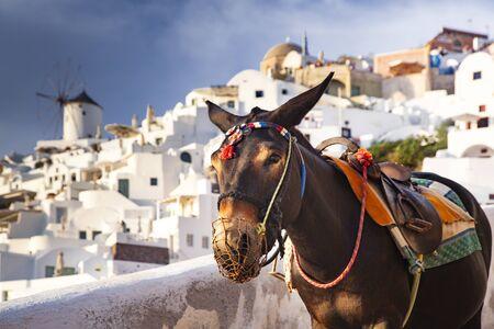 donkey portrait in Santorini, Greece Zdjęcie Seryjne