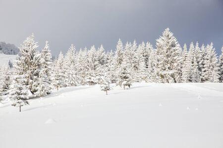 Invierno en las montañas - abetos cubiertos de nieve - Fondo de Navidad