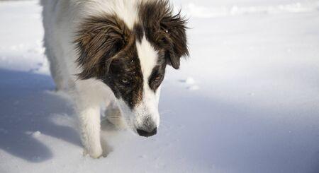 happy dog playing in fresh snow Фото со стока