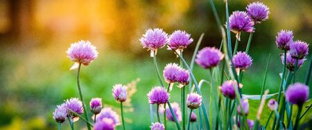 chives at sunset home gardening