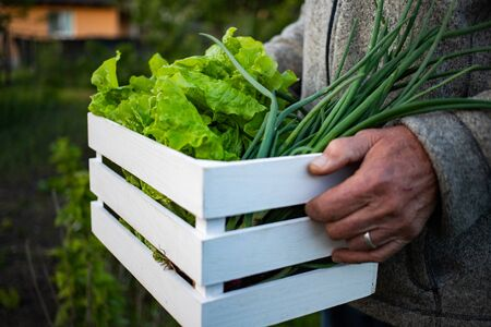 gardening man holding box with fresh lettuce and onions