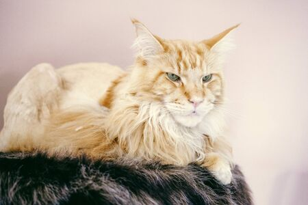 portrait of a beautiful maine coon cat