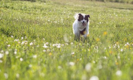 white shepherd dog enjoying outdoors Foto de archivo