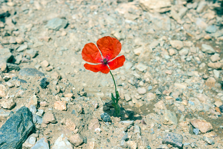 red stone: Lone poppy growing among the rocks