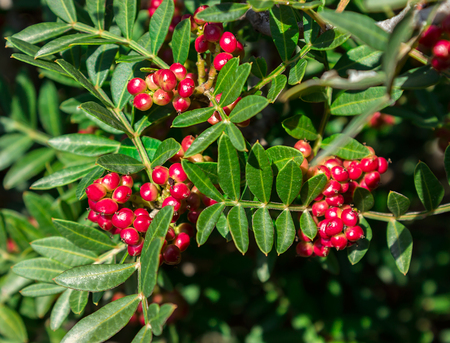 Evergreen shrub with red berries. Pistacia lentiscus. Greece