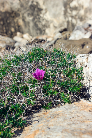 Gentle violet flower among the thorns and stones.  Solitariness, loneliness concept.