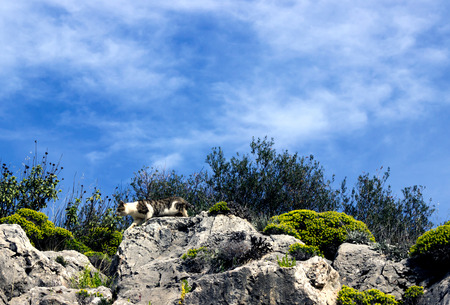 Spotted cat sneaks down the mountainside. Bright blue sky.