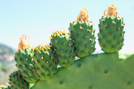 Opuntia Indian with fruits and flowers. Sunny day. Greece.
