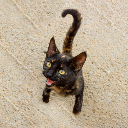 Cute kitten asks for food. The cat has an unusual turtle color and bright yellow eyes. Selective focus.