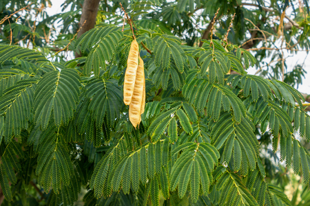 Acacia tree with hanging seed pods. Leucaena leucocephala.