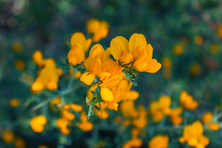Yellow flowers on a Bush with thorns. Calicotome villosa. Greece. Selective focus. Foto de archivo - 123329656