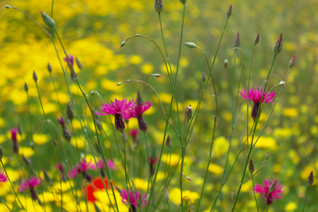 Yellow, red and purple wildflowers in the meadow. Summer flower landscape. Selective focus.