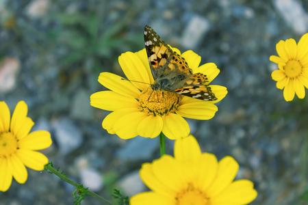 Beautiful butterfly on a yellow flower. Selective focus. Foto de archivo - 123216722